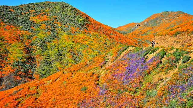 View of Walker Canyon poppies from trail in Lake Elsinore