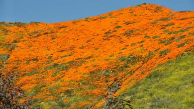 California poppies blanket a hillside in Lake Elsinore.