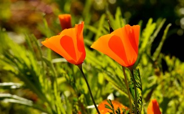 Subtle shades or orange can be seen depending on lighting of California poppies.