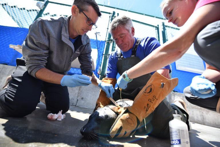 SeaWorld rescuers applyingointmenton theinjured seal.