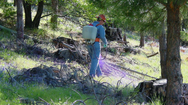 Forest Service worker spraying a herbicide