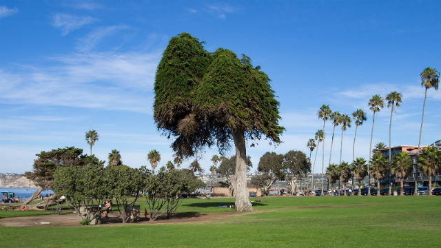 Cypress tree in Ellen Browning Scripps Park