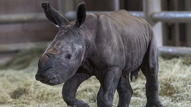 A day-old southern white rhino calf stands on its wobbly legs at the Nikita Kahn Rhino Rescue Center at the San Diego Zoo Safari Park. The birth of this male calf on Sunday, July 28, 2019 marked a first for the conservation organization, following hormone-induced ovulation and artificial insemination. Artificial insemination of rhinos has rarely been attempted in zoos, and this is the first successful artificial insemination birth of a southern white rhino in North America. The calf's mother, Victoria, was artificially inseminated with frozen semen from southern white rhino Maoto on March 22, 2018, following hormone-induced ovulation. White rhino gestation is estimated to be 485 days—but as with any baby delivery, this can differ. Victoria carried her calf for 493 days. The artificial insemination and successful birth of the rhino calf is not only a historic event for San Diego Zoo Global, but it represents a critical step in the organization's ongoing work to develop the scientific knowledge required to genetically recover the northern white rhino, a distant subspecies of the southern white rhino. Only two northern white rhinos currently remain on Earth and, unfortunately, both are female. San Diego Zoo Global has a history of expertise with rhino species. With the birth of this calf, there have now been 99 southern white rhinos born at the San Diego Zoo Safari Park, in addition to births of 73 greater one-horned rhinos and 14 black rhinos at the Safari Park. The challenges associated with limited gene pools and severely reduced numbers facing Javan rhinos, Sumatran rhinos and northern white rhinos mean that some form of assisted reproduction may be their only hope for the future. Victoria and her calf will remain off exhibit to the public for an undisclosed period of time, to allow them to bond. The calf will eventually be introduced to the other five female rhinos at the Nikita Kahn Rhino Rescue Center—including Amani, also pregnant through artificial