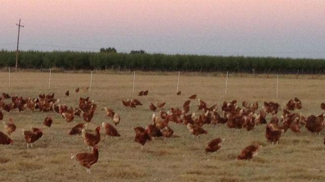 Chickens on a farm in California