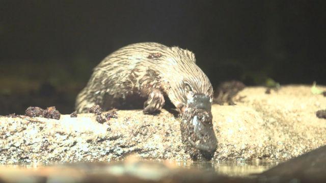 Platypus explores new habitat