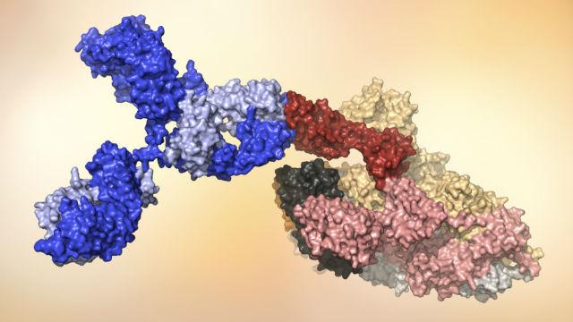 Model of coronavirus antibody