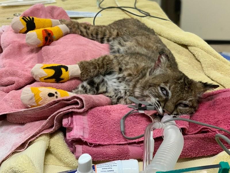 The injured bobcat.