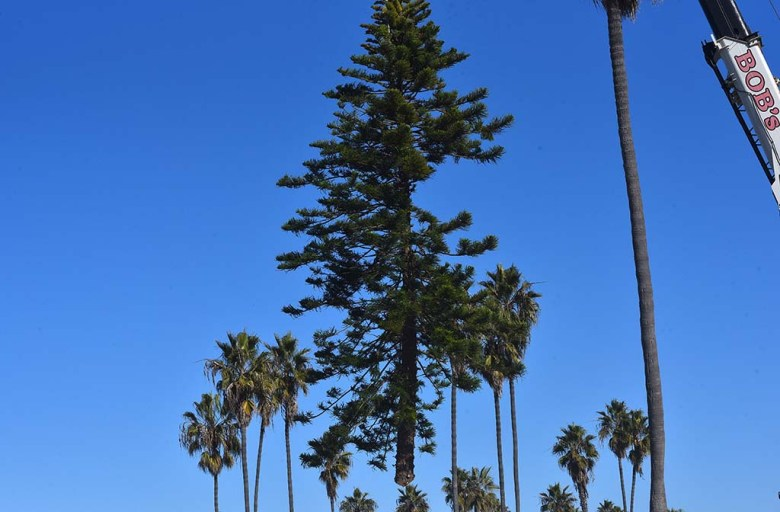 This year's Ocean Beach Christmas tree is lowered by a crane into a hole in the beach.