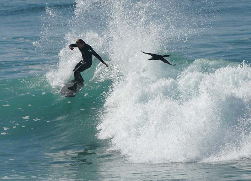 A bird accompanies a surfer who navigates the strong surf in La Jolla.