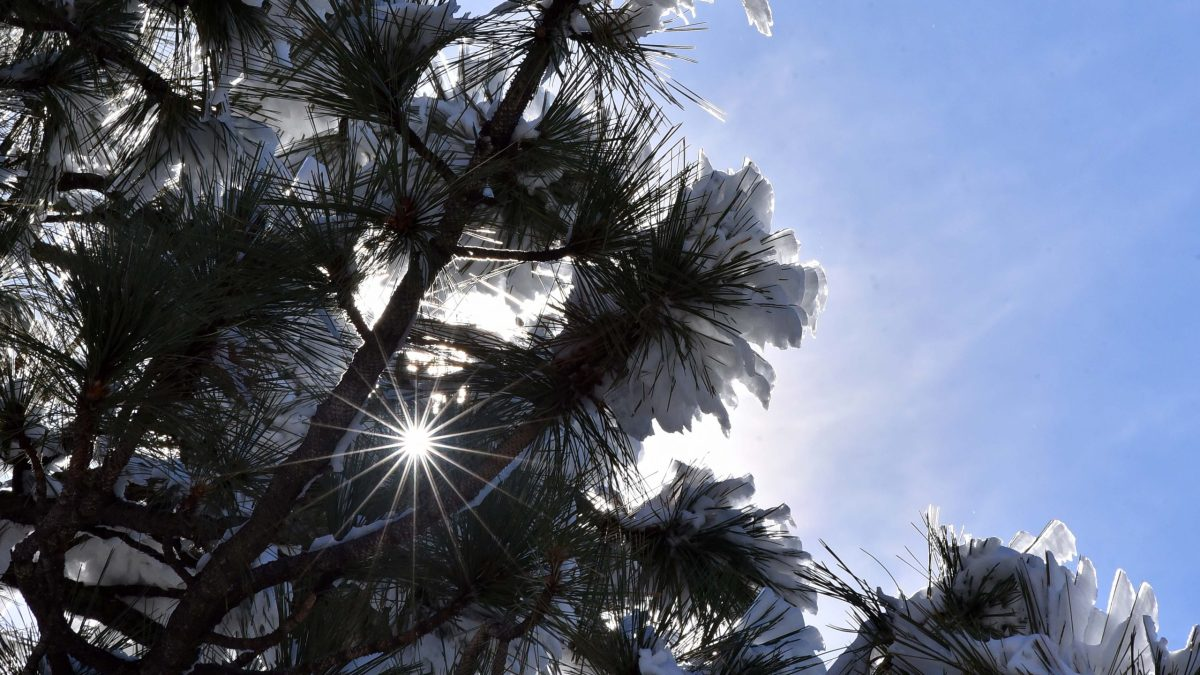 The abundance of sunshine and warmer weather causes snow on the pine trees branches to begin to melt.