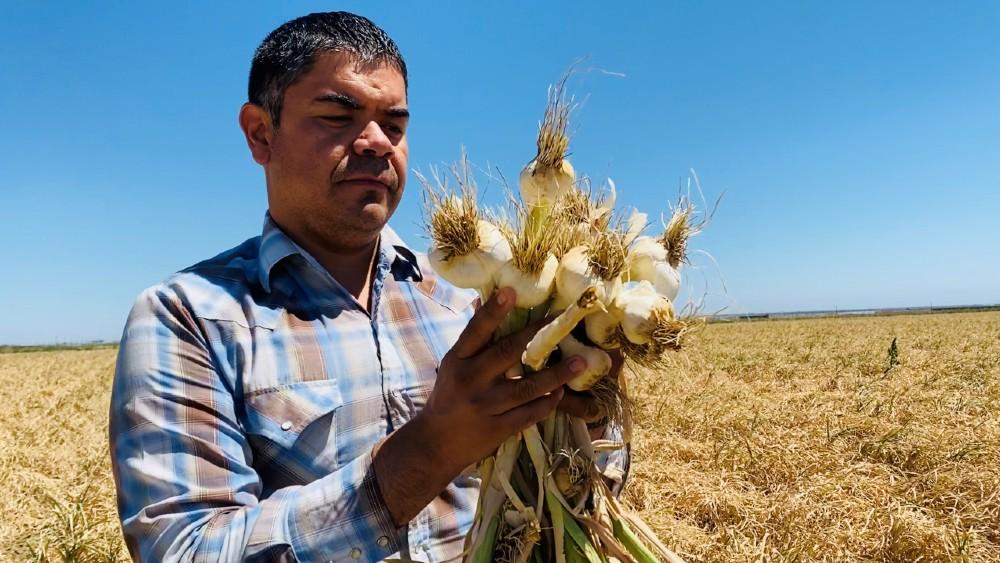 Salvador Parra with a garlic crop