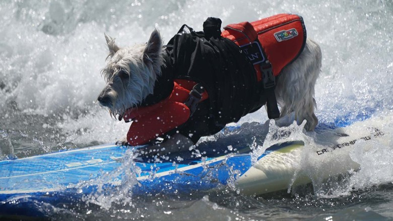 Petey, a Westie, in the extra small group won the prize of top dog in the 2021 Helen Woodward Surf Dog Surf-a-thon. Photo by Chris Stone