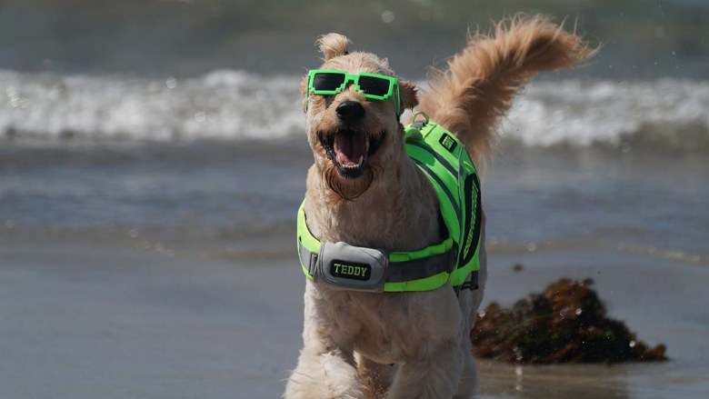 Teddy, who has been a goodwill ambassador for the San Diego County Sheriff's Department, has fun in the sun. Photo by Chris Stone
