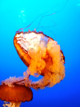 Vancouver Aquarium, orange jellyfish