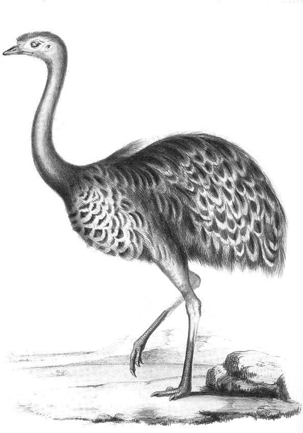 Rhea Darwinii
