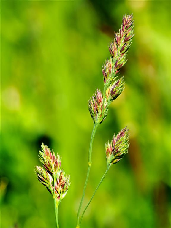 Grass getting ready to seed, close-up