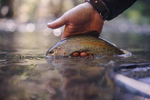 McCloud River trout