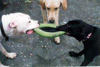 dog-tug-war