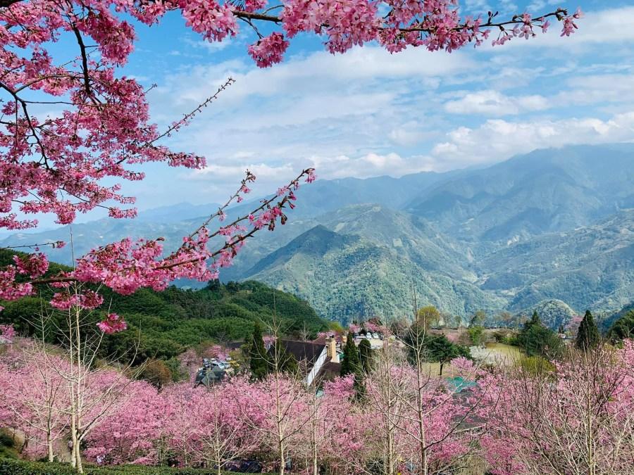 2021新竹竹東山上人家森林農場櫻花祭開始了!花況報導看這裡~五峰鄉景點營業時間管制時間