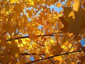 goldeen leaves