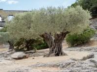 Unexpect olive tree