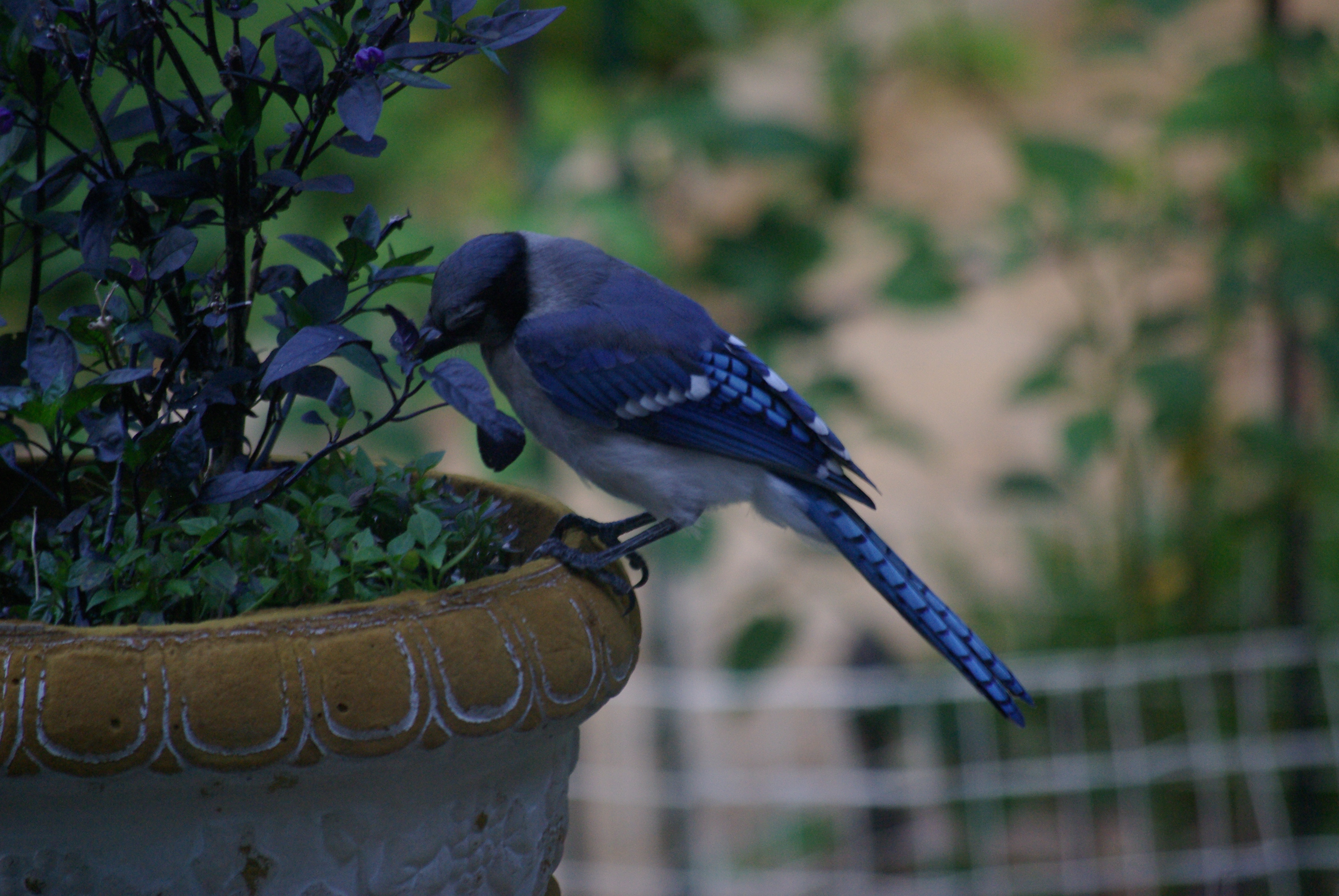 Blue jay working to get a purple pepper