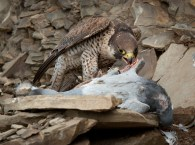 Peregrine Falcon With Kill