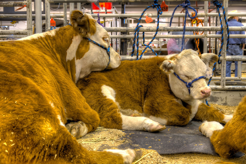 Being a cow is hard work I suppose. You have to constantly eat to keep your figure, plus it takes a lot of energy to 'moove' that figure around too. So whenever you get a chance, you try to take in a quick power nap. These sleepy friends were at The Houston Livestock Show and Rodeo, waiting their time to show. For many city folks, a livestock show may be the only opportunity to see up close livestock normally found in the country. It's great family fun too. Photo by Tim Stanley Photography.