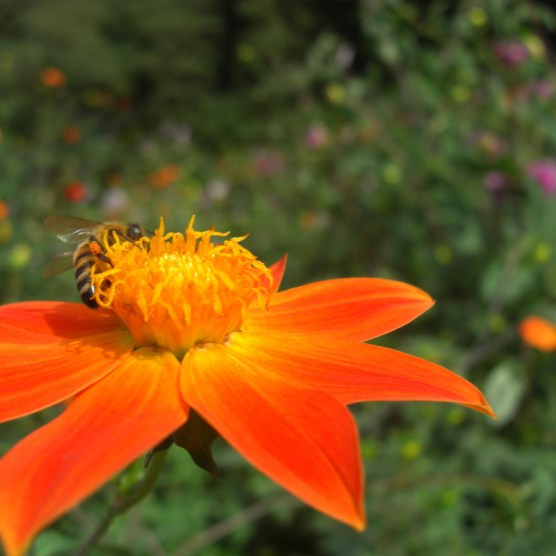 Aster_orange