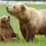 grizzly-bear-harry-bosen-dpc