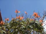 Eva calls the tulipe trees