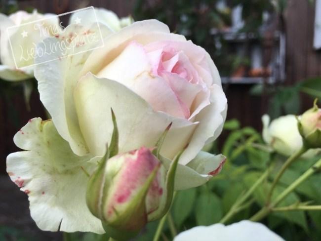 Garten_RoseRosa