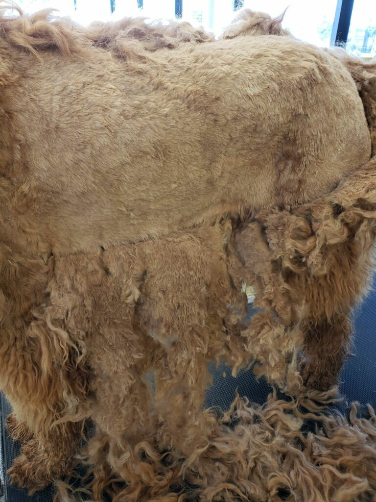 Matted Goldendoodle