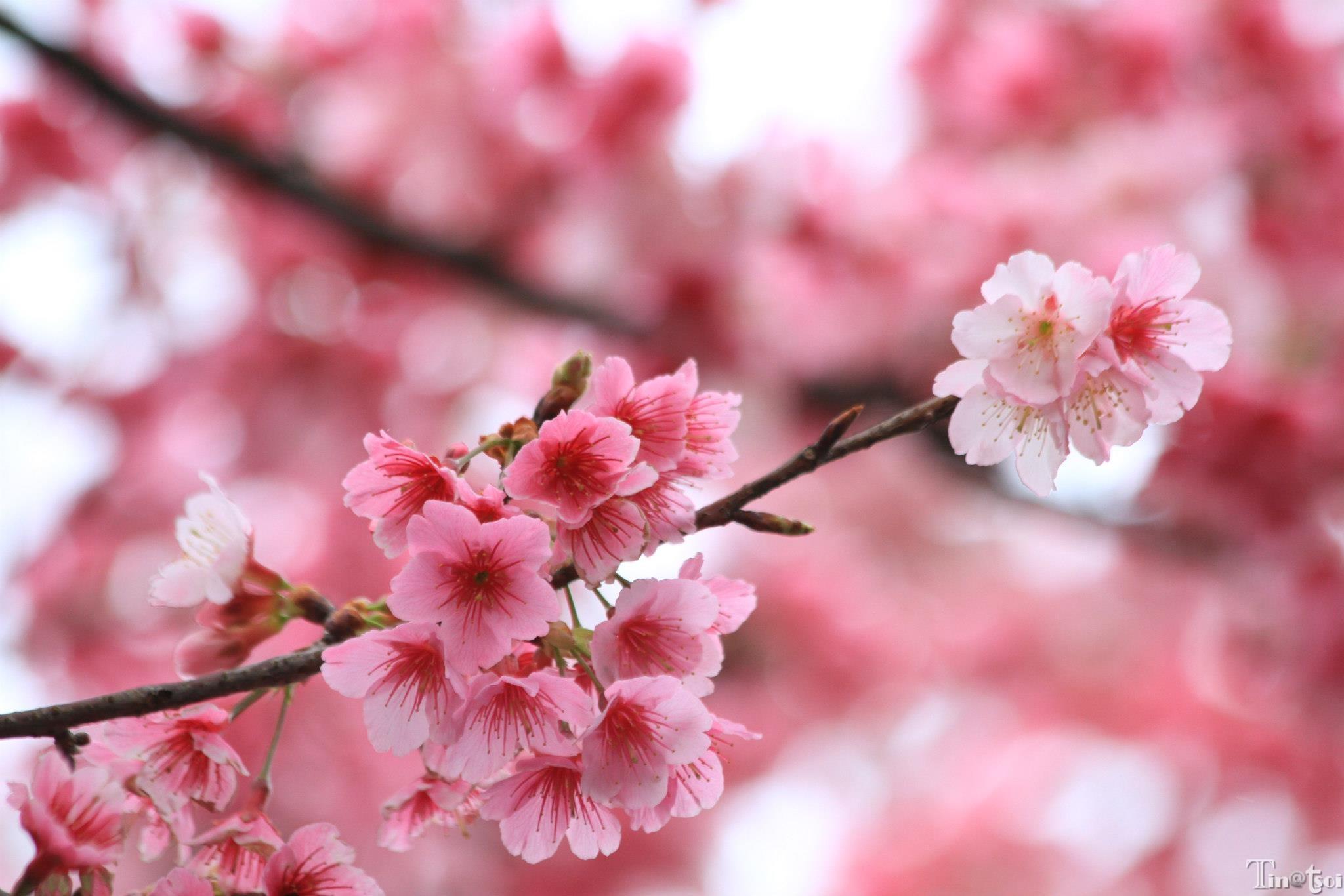 今日櫻花燦爛