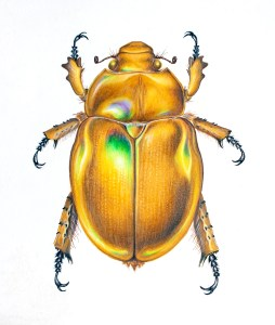 Scientific illustration of a Christmas Beetle