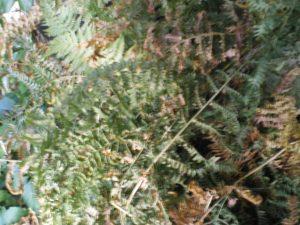 Plante de fougère