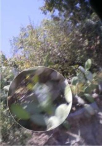 La foto est un peu floue, je l'ai prise à partir du bus en mouvement, mais voici la cochenille dans la nature