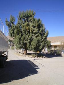 Pin australien ou cuarasiña, courant au nord du Chili,nous l'avons aussi utilisé à Madagascar