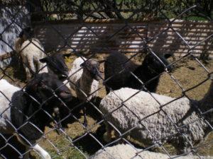 Bélier à laine rèche, au premier plan, à gauche