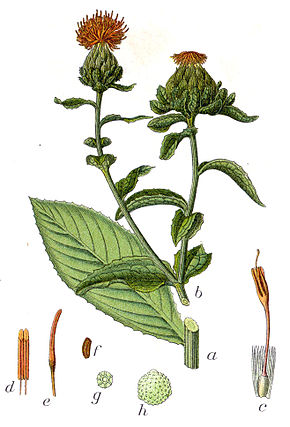 Plante qui donne des teintes  roses - Représentation du Carthame des teinturiers dans l'ouvrage  Deutschlands Flora in Abbildungen, 1796