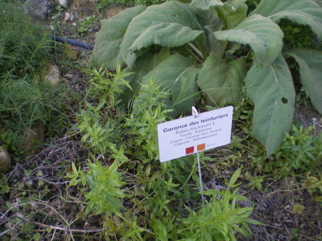 Rubia Tinctoria, ses racines nous donne de jolies teintes de rouges, orangés, saumon...