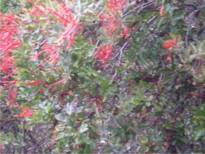 Cette magnifique plante qui attaque de nombreuses espèces d'arbres et un hémiparasite courant, ici sur un molle, donne un brun tabac très lumineux, c'est malin de teindre avec