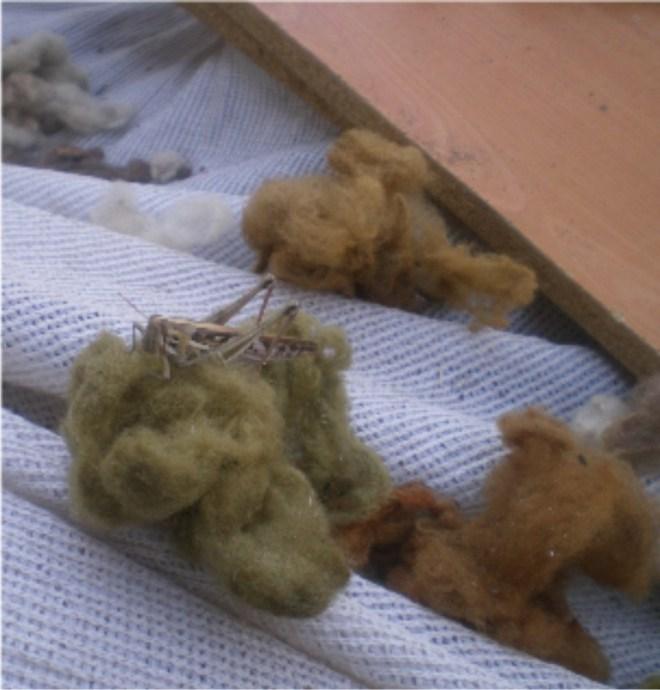 Sauterelle en train de déguster de la laine teinte avec des déchets artichauts, à Copiapo, Región de Atacama, Chili