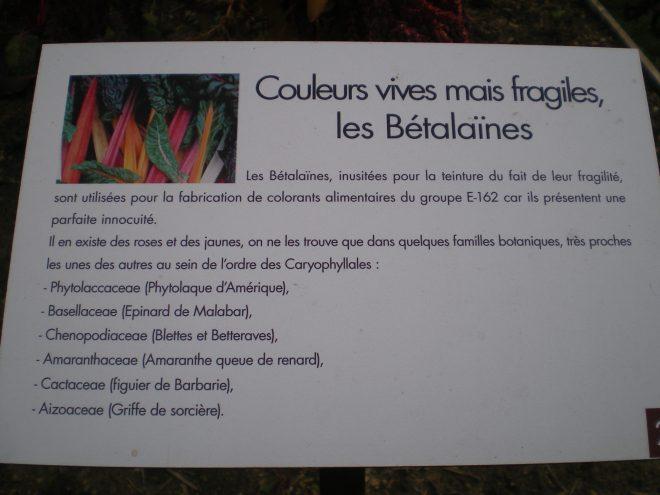 Betterave rouge, source de betala¨ïne courante, petit panneau dans le Jardin des Plantes Tinctoriales de Couleur Garance, à Lauris, France