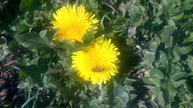 Abeille entrain de butiner une fleur de pissenlit, les poches à pollen pleines de pollens jaunes...
