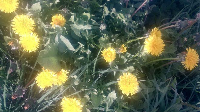 """""""Mauvaises herbes"""" anciennement cultivées: le pissenlit"""