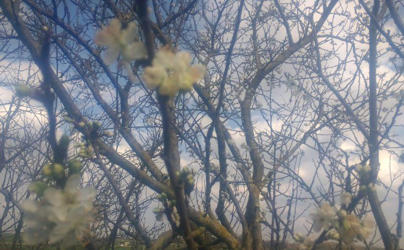 Printemps, vent dans les arbres en fleurs