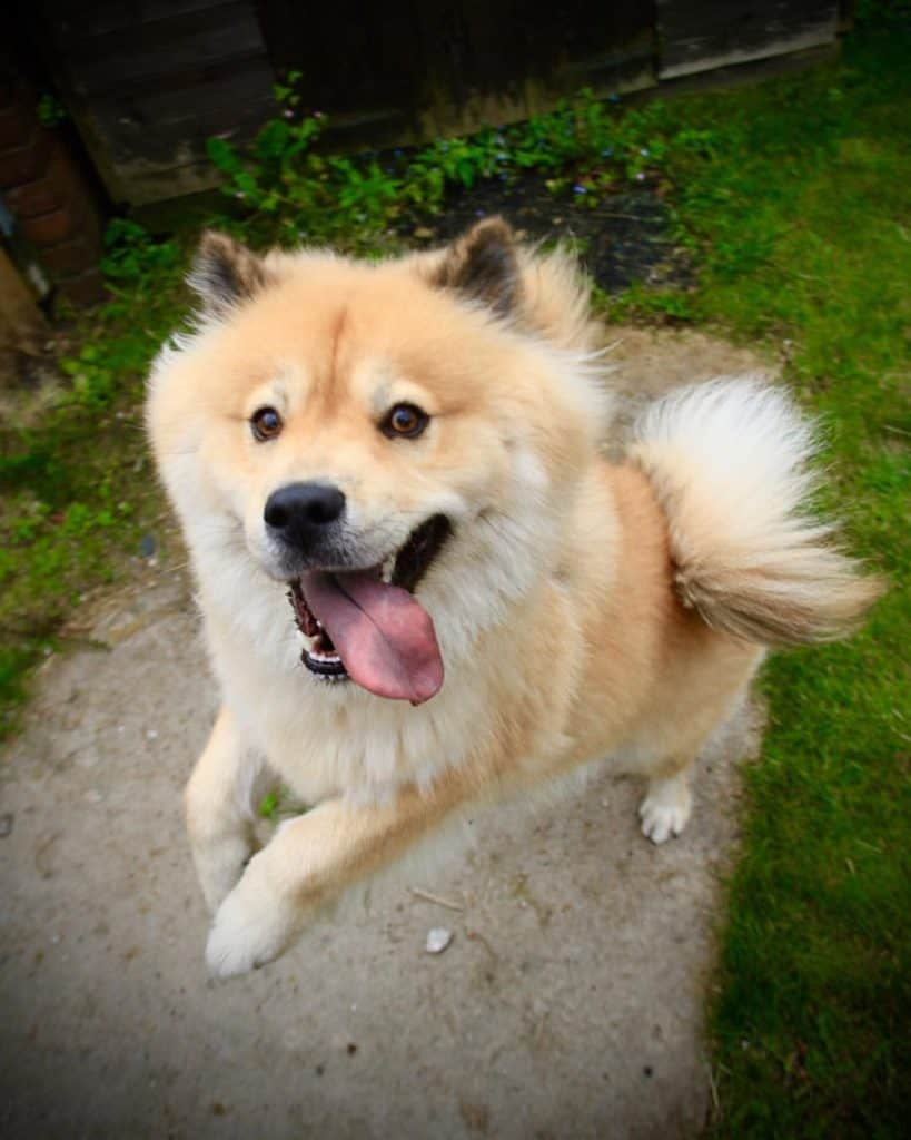 The Chow Chow Husky Mix Is A Fluffy Ball Of Adorable But Is It For You Tindog