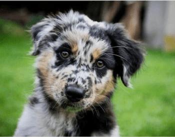 Australian Shepherd Blue Heeler Mix – Everything You Want To Know