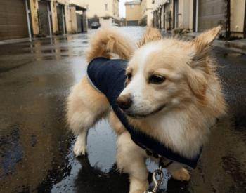 CorgiPom Puppies: Corgi Pomeranian Mix – Squat And Spunky And Full Of Fun